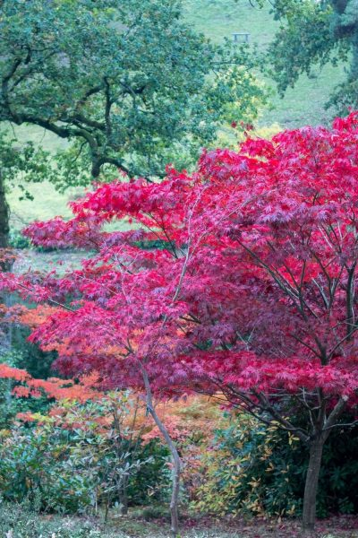 Growing conditions for acers