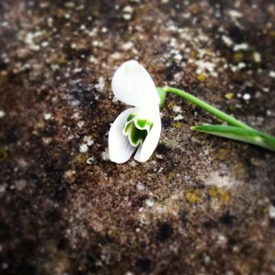 inside a snowdrop's petals