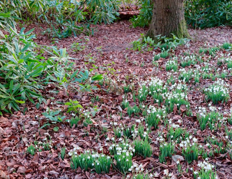 Snowdrops at Doddington Place Gardens