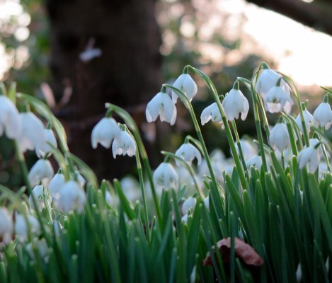Snowdrops are a challenge to photograph.