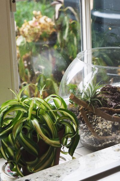 Two authentic 1970s house plants: Spider plants and terrarium in the kitchen