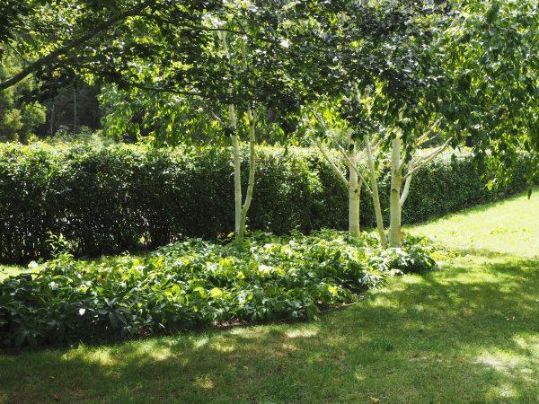 Multi-stemmed silver birch as privacy screening.