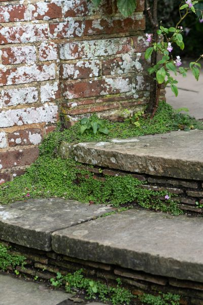 Mind-Your-Own-Business in cracks at Great Dixter