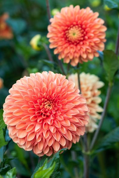 Dahlia 'Sylvia' is good for cutting