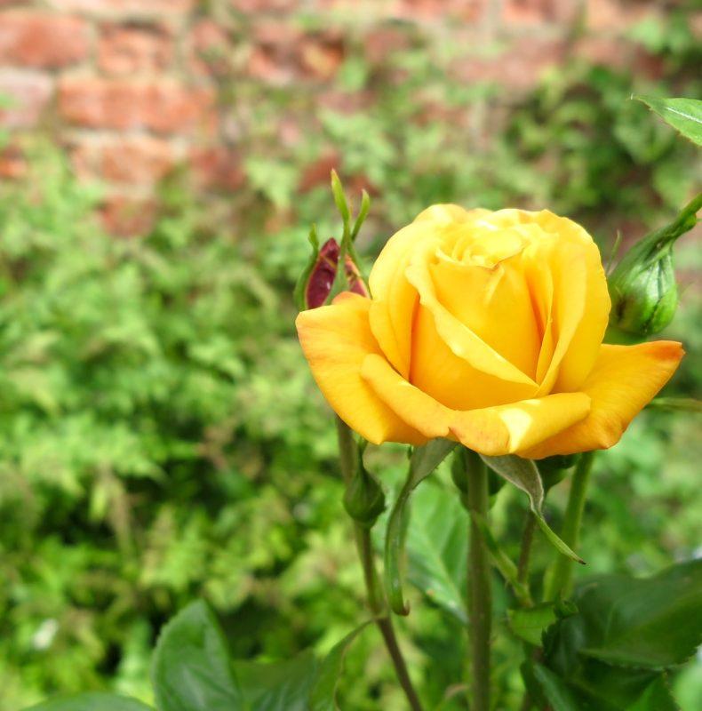 Mid twentieth century rose