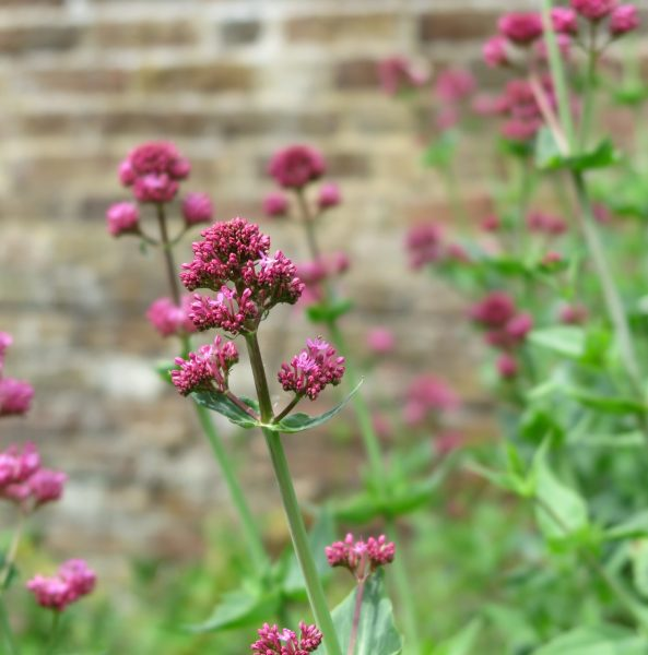 Red valerian is another garden flower-cum-weed