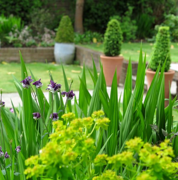 Evergreen box in pots