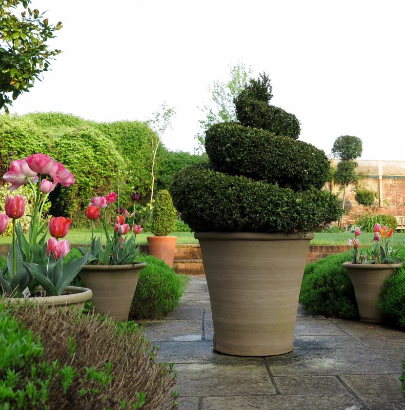 Topiary spiral in pot