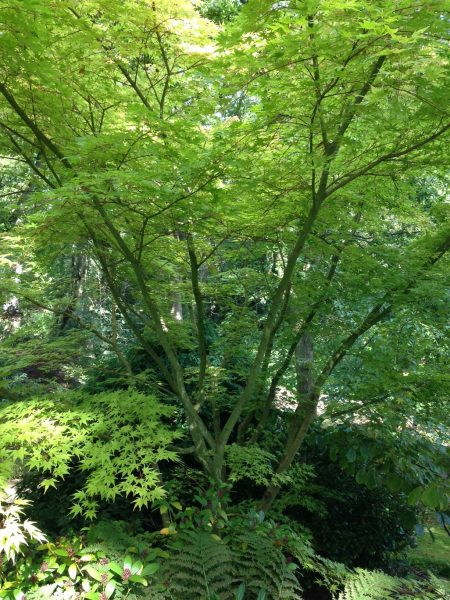 How to prune garden trees the 'transparent' way