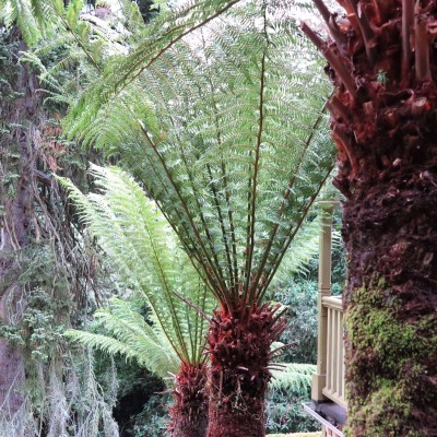 Tree ferns are very long-lived plants