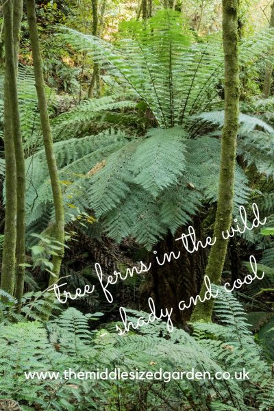 Tree ferns growing wild