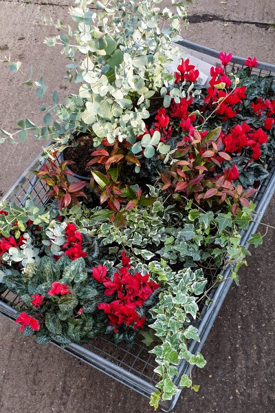 Eucalyptus, cyclamen, ivy and barbed wire plant for a winter window box.