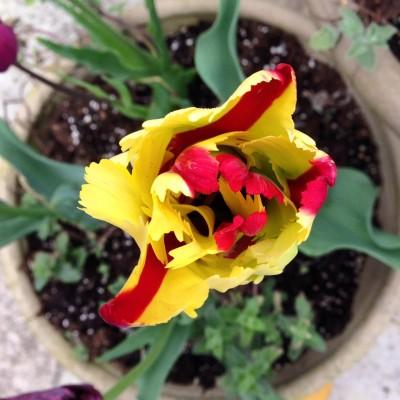 Plant tulips in November