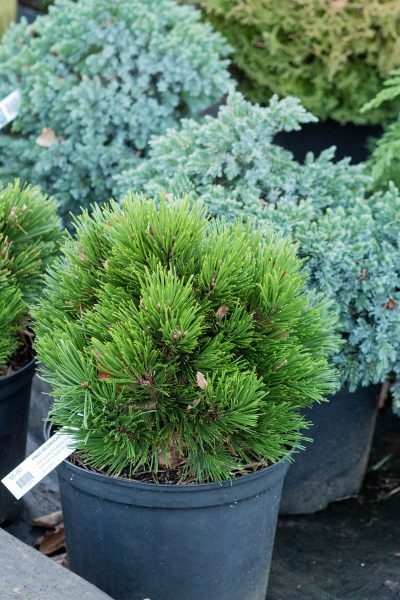 Conifers for pots and small gardens