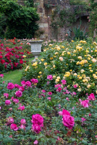 Growing roses at Hever Castle