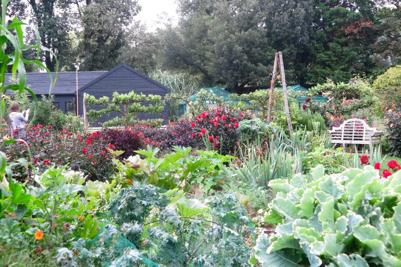 How to grow dahlias for the house and the garden