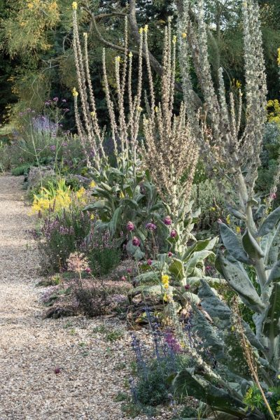Verbascum at the Beth Chatto gardens