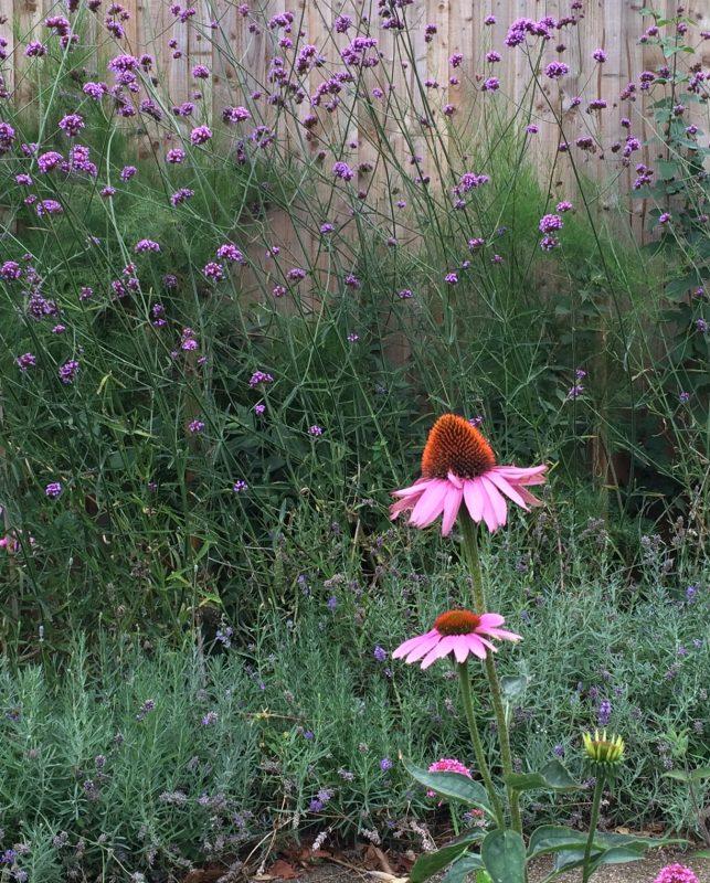Late summer garden planting includes verbena bonariensis