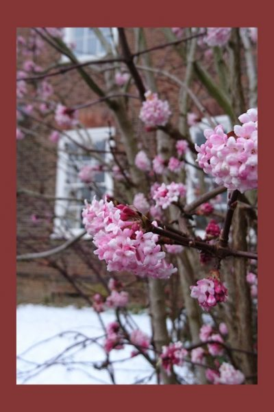 Viburnum bodnantense 'Dawn' in a winter front garden