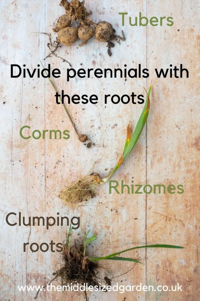 Which plants need dividing
