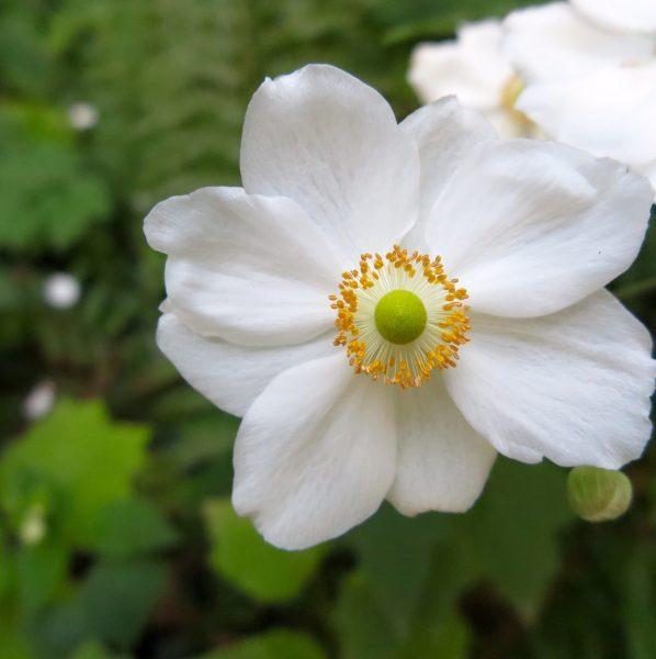 Shade loving anemones