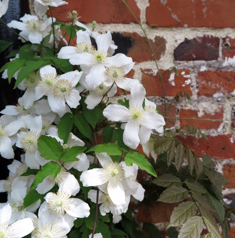 Pure white clematis