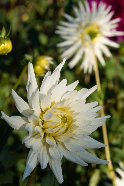 Dahlias are brilliant cut flowers