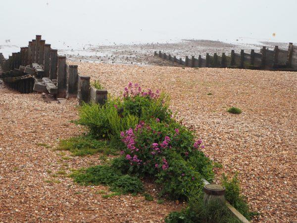 Wild mallow on Whitstable beach