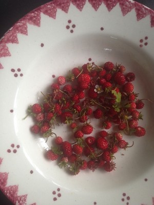 Self-seeded wild strawberries