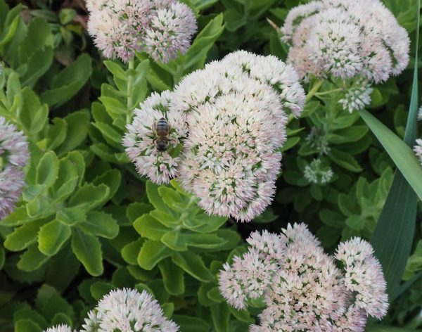 Sedums are loved by wildlife and are drought-resistant #gardentips