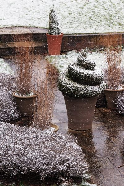 How to keep your potted topiary healthy #gardening #containergarden