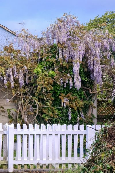 Wisteria climbs by twining