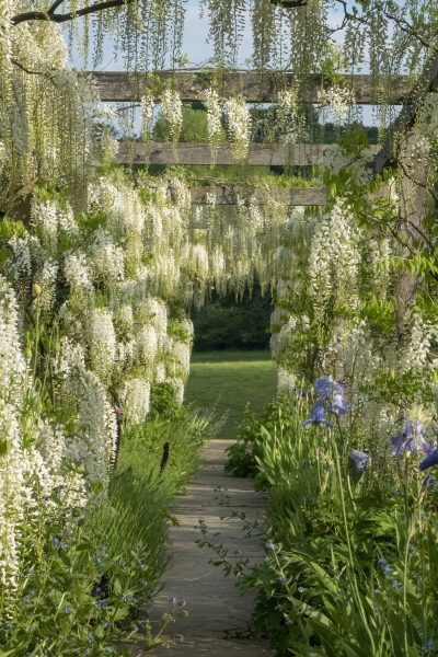 White wisteria arch at Gravetye Manor