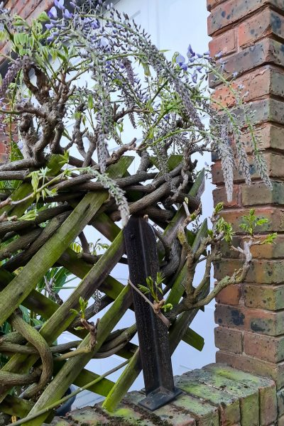 Gnarled wisteria branches