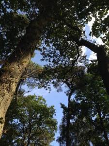 Transparent pruning conifer