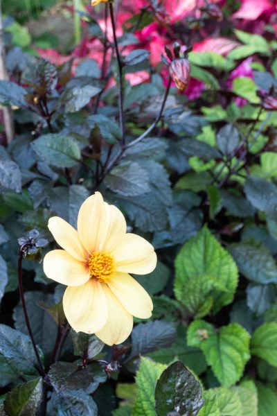 Dahlia 'Yellow Hammer' does well in shade