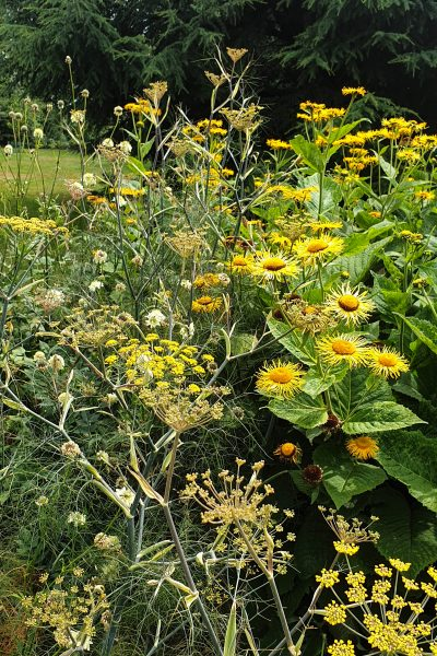 Fennel and sunflowers in the borders at Kew