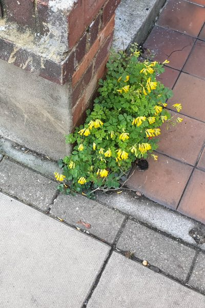 Yellow flowered weed