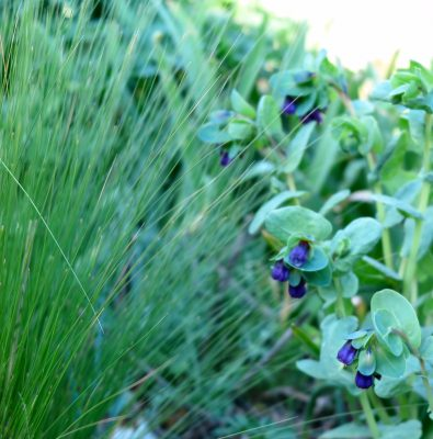 Stipa tenuissima spring foliage